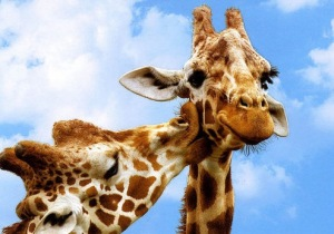 Kissing giraffes 1 (2)
