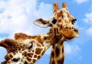 Kissing giraffes 1 (2)