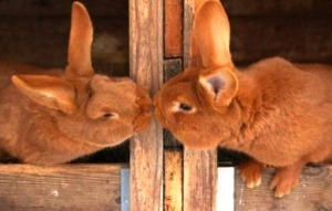 Kissing rabbits (2)